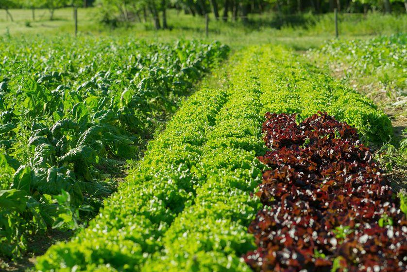L'Agriculture biologique : la volonté de mieux manger.