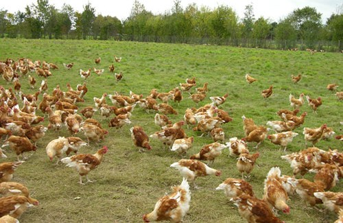 Breeding of organic chickens in the open air.