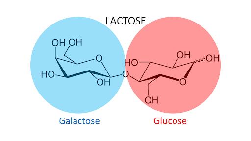Le galactose et le glucose donne le lactose