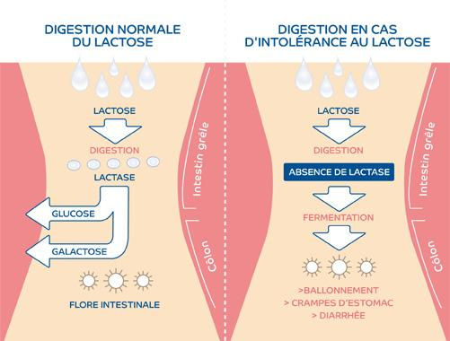 Digestion du lactose chez l'Homme