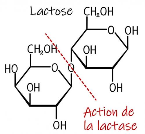 Action de la lactase sur le lactose